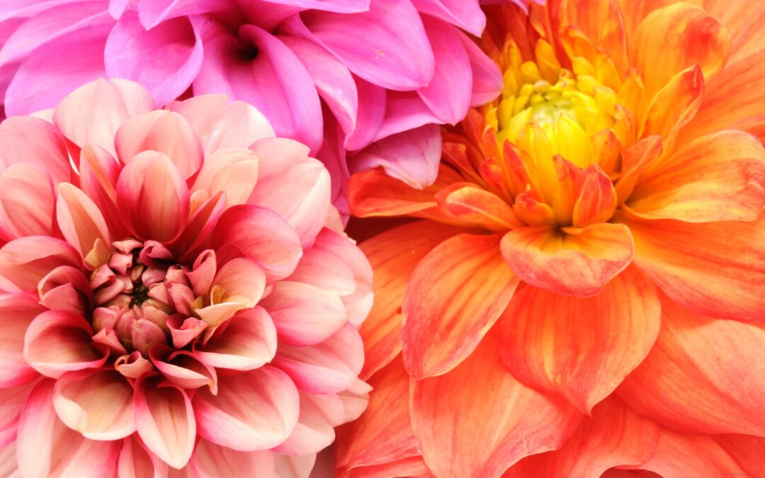 Donate Dahlias For Mom