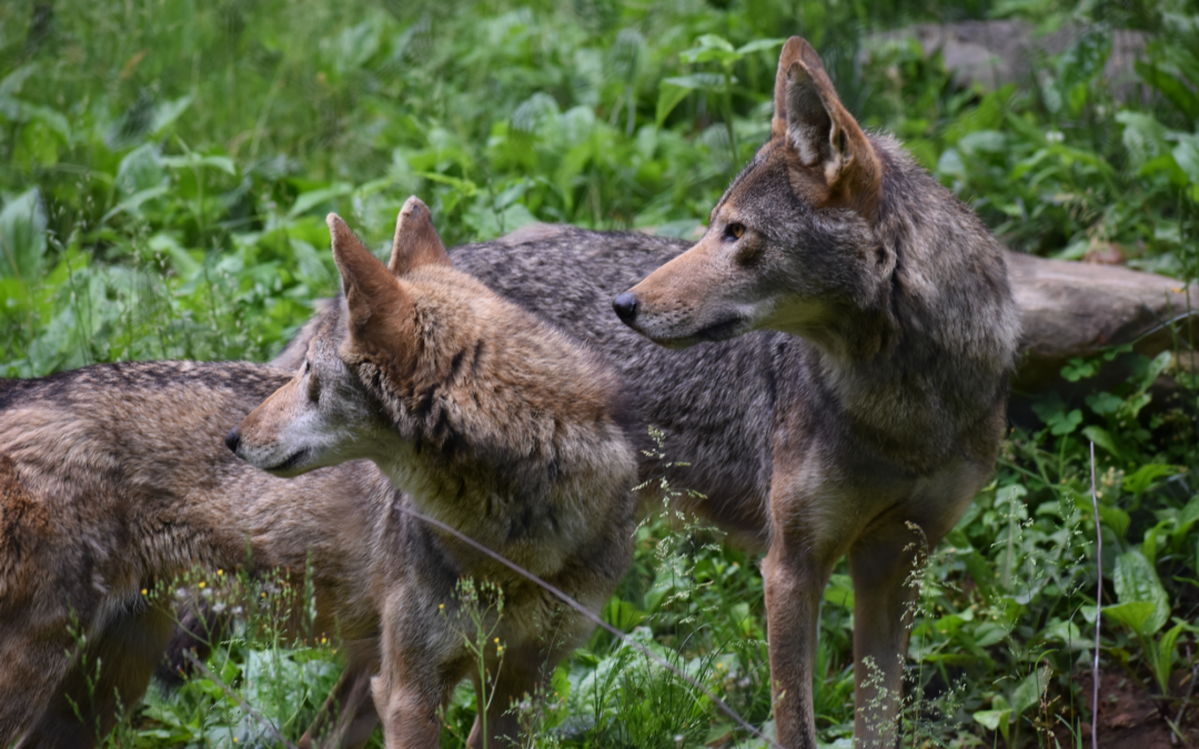 Howling for the Red Wolf